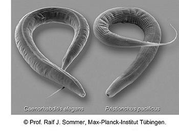 Nematoden Caenorhabditis elegans und Pristionchus pacificus