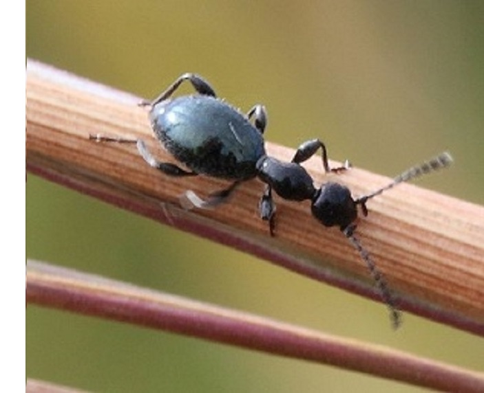 Ameisen-Mimikry