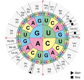 Sonne des genetischen Codes