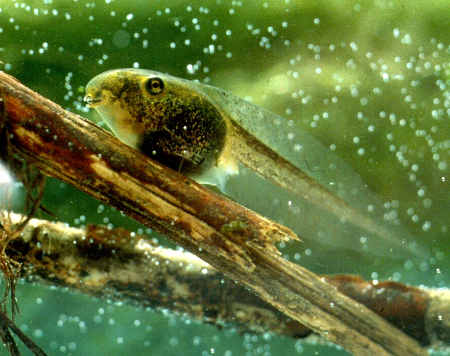 Kaulquappe eines Laubfroschs
