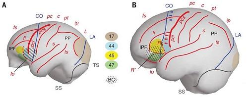 Gehirnstruktur von Menschenaffe und Mensch