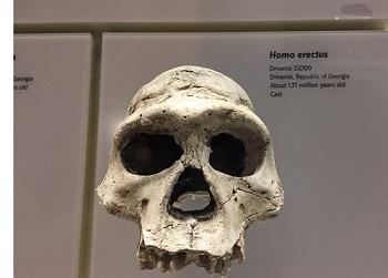 Homo erectus aus Dmanissi