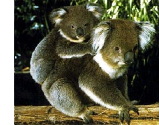 Zwei Koalas