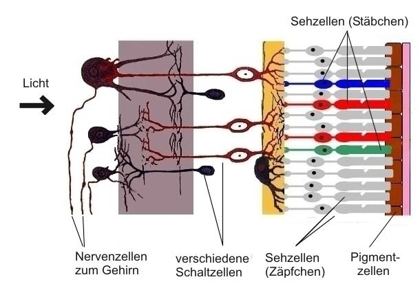 Inverser Bau der Netzhaut